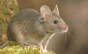 Cordyceps proti lymfomu u myší