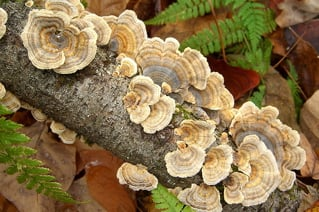 wild-turkey-tail-mushrooms